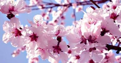 pomi-cu-flori-de-primavara
