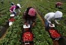 900 locuri de muncă în domeniul agricol (recoltare fructe)în Spania