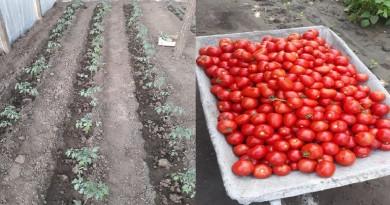 """In sprijinul fermierilor. Programul """"TOMATA"""" continuă și în 2020"""